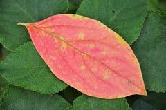 leafred Royaltyfria Foton