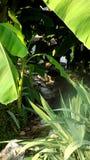 Leafs. природа nature, гармония harmony, relax, recreation, tropics bananas summer Royalty Free Stock Images