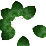 leafs arkivfoton