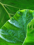 leafs Arkivfoto