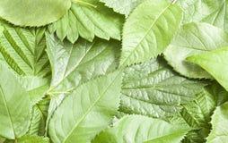 leafs arkivbild