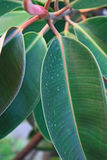 The leafs. The closeup of green tropical leafs Royalty Free Stock Image