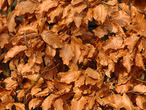 Leafs. In the garden from a beech in autumn Royalty Free Stock Photo