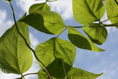 Leafs Royalty Free Stock Photography