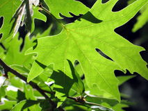 Leafs. Green leafs stock photography