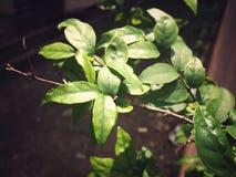 leafs Arkivbilder
