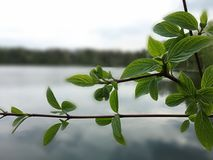 Leafs above water. Twig with leafs green above the lake Royalty Free Stock Images