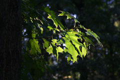 Leafs against the sun. Oak leafs against the sun royalty free stock photos