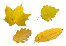 Leafs of autumn Royalty Free Stock Image