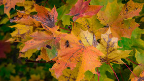Leafs. Autumn colors and alone fly Royalty Free Stock Photography