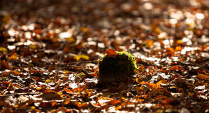 Leafs in Autumn Royalty Free Stock Photography