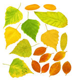 Leafs of a birch and barberry Royalty Free Stock Photo