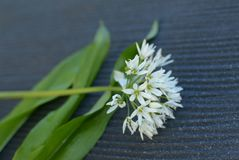 Leafs and bloom of wild garlic. stock photography
