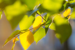 Leafs on the branch in sunlight background Stock Photo