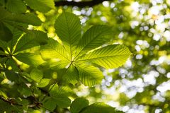 Leafs of the buckeye tree. Fresh green branch of horse chestnut with back light and some bokeh blurred background. stock image