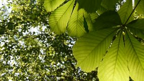 Leafs chestnut tree thoroughly illuminated by the sun. Video footage hd shooting in spring of static camera. Castanea. Leaf chestnut tree thoroughly illuminated stock footage