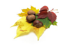 Leafs and conkers stock photos