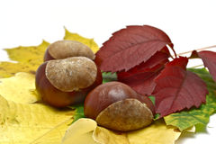 Leafs and conkers Royalty Free Stock Photography