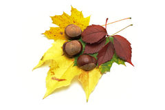 Leafs and conkers stock photography