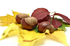 Leafs and conkers Royalty Free Stock Image