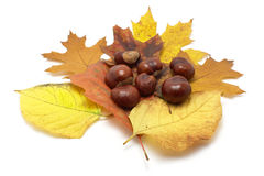 Leafs and conkers royalty free stock images