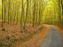 Free Leafs Covered Road In The Beech Trees Forest In Autumn / Fall . Broad Leaf Trees Foliage In Autumn.Relaxing Nature. Countryside L Stock Photography - 102482532