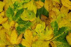 Leafs. Created by the texture of the leaves of Maple and birch stock photo