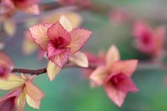 leafs czerwona wiosna Obrazy Stock