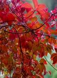 leafs czerwony obraz stock