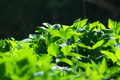 Leafs. Details when sun rises - shadows Royalty Free Stock Photography