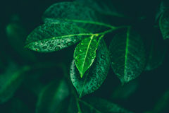 Leafs with dew. Green leafs whith dew. Morning nature Royalty Free Stock Images