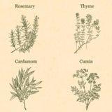 leafs för örtar för matlagning för closeup för bakgrundsfjärdblack pepprar white Stock Illustrationer