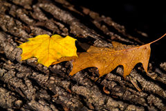 Leafs in fall Stock Images