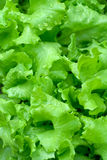 Leafs of fresh green salad. Royalty Free Stock Photography