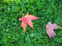 Leafs on a grass. Royalty Free Stock Image