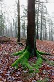 Trunk moss forest, Hoegne, Ardennes, Belgium. Leafs on the ground, and moss-covered trunk of a beech trees in the nature reserve park of Hoegne in the Ardennes stock photography