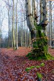Trunk moss forest, Hoegne, Ardennes, Belgium. Leafs on the ground, and moss-covered trunk of a beech trees in the nature reserve park of Hoegne in the Ardennes stock image