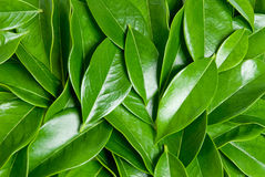 Leafs heap. Close up of green leaves in unarranged heap stock photography