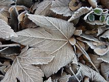 Leafs with hoarfrost Stock Photography