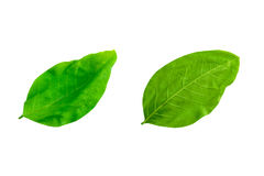 Free Leafs Isolated On White Background Royalty Free Stock Photos - 99134128