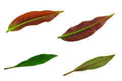 Free Leafs Isolated On White Background Royalty Free Stock Photo - 99134225