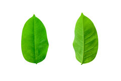 Free Leafs Isolated On White Background Royalty Free Stock Photos - 99134278