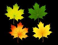 leafs klon Zdjęcie Royalty Free