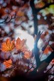 leafs klon Obraz Stock