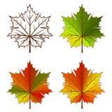 leafs klon Obraz Royalty Free