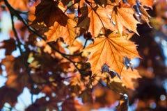 leafs klon Obrazy Royalty Free