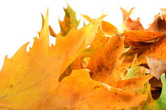 Leafs  like fire. Golden leafs closeup like fire in white backgound Stock Photo