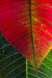 Leafs Macro. Macro photo of green and red leafs with sunlight from behind Royalty Free Stock Photo