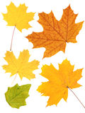 Leafs of a maple Stock Photos