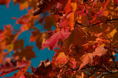 leafs maple Στοκ Εικόνες